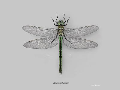 Female emperor dragonfly (Anax imperator)  scientific illustration photoshop emperor dragonfly dragonfly digital painting anax imperator