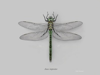 Female emperor dragonfly (Anax imperator)