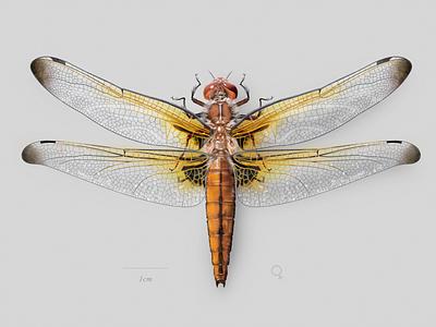 Female scarce chaser (Libellula fulva) science dragonfly digital art scientific illustration
