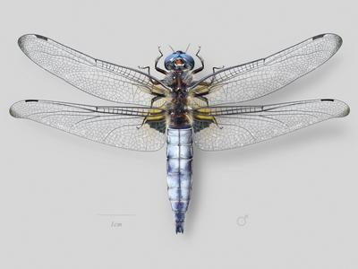 Scarce dragonfly (Libellula fulva)