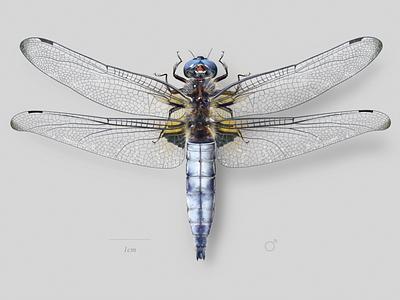 Scarce dragonfly (Libellula fulva) dragonfly wildlife nature science scientific illustration