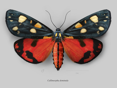 Scarlet tiger moth  (Callimorpha dominula) scientific illustration entomology butterfly moth