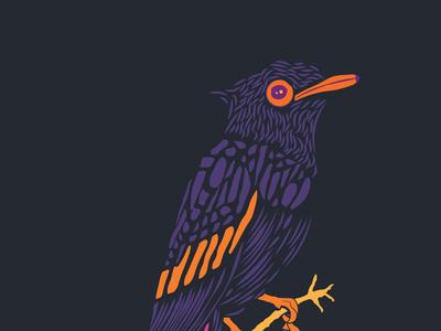 Paradise Flycatcher illustration