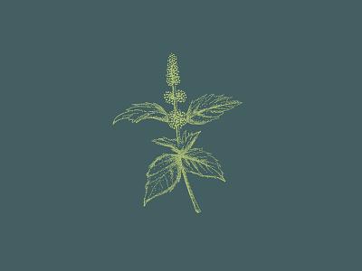 Chocolate Mint botanical illustration