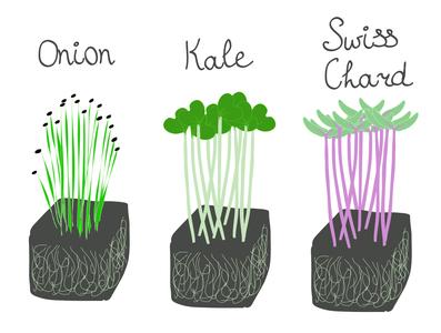 Onion, kale, and swiss chard microgreen