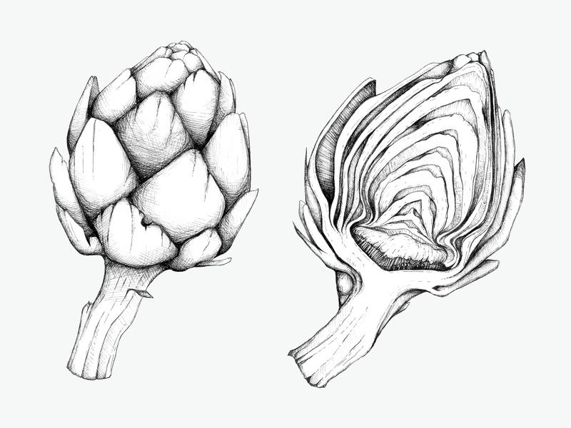 Botanical Illustration Artichoke Drawing
