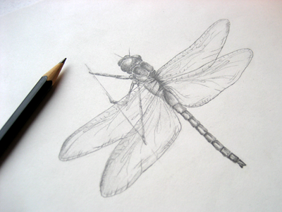 #2 Dragonfly drawing illustration pencil freehand sketch insect dragonfly