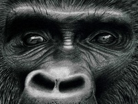 Illlustration Gorille