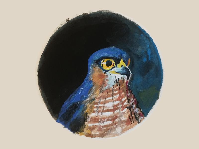 Eurasian Sparrowhawk jna soko sparrowhawk gouache gouachepainting uiux illustration airforce nature balkans yugoslavia