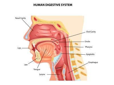 Anatomy of human body vector section human healthy health epiglottis digestive digestion diagram medical illustration cartoon body anatomy medicine science system organ anatomical internal