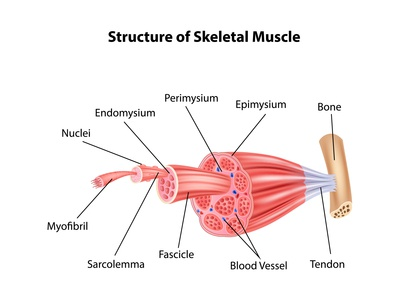 Structure Skeletal Muscle Anatomy