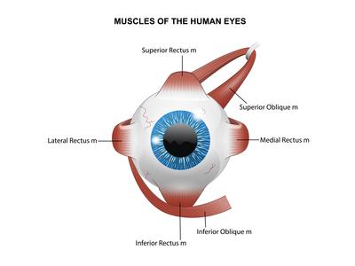 Eyes anatomy
