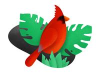 Procreate Illustration of Cardinal