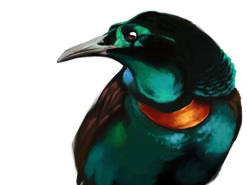 Splendid Astrapia - Bird of Paradise