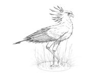 Secretary Bird Sketch