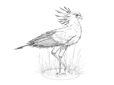 Secretary Bird Sketch ipad procreate animal ilustracion design artist art digital painting ave pajaro boceto dibujo pencil sketchbook drawing illustration bird sketch