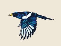 Yellow-billed Magpie animal animals nature design disegno artist art digital painting ave pajaro ilustracion boceto dibujo pencil sketchbook drawing illustration bird sketch