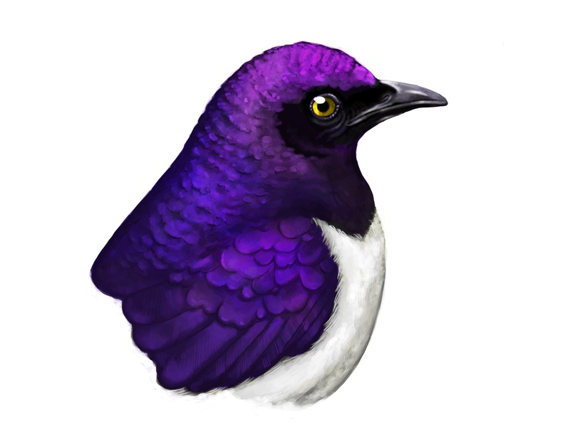 Violet-backed Starling Illustration starling procreate animals nature design disegno artist art digital painting ave pajaro ilustracion boceto dibujo pencil sketchbook drawing illustration bird sketch