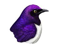 Violet-backed Starling Illustration