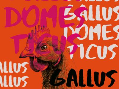 Gallus gallus