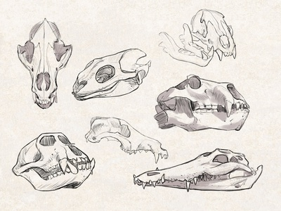 Sketches: Animal Skulls 1