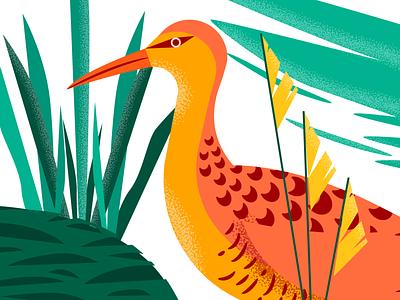 Gallineta vector colorful illustration