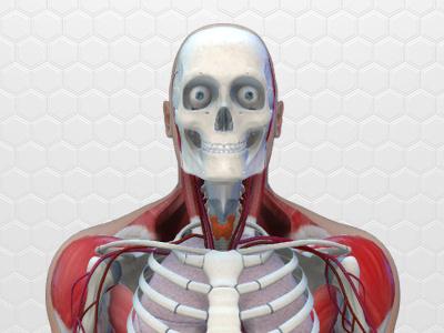 Human Body Anatomy skeleton scull muscles medicine lungs intestines human heart health brain body anatomy