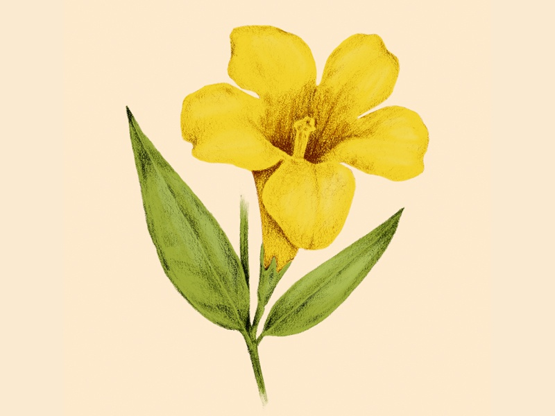 Yellow Jasmine nature floral yellow jasmine flower drawing illustration