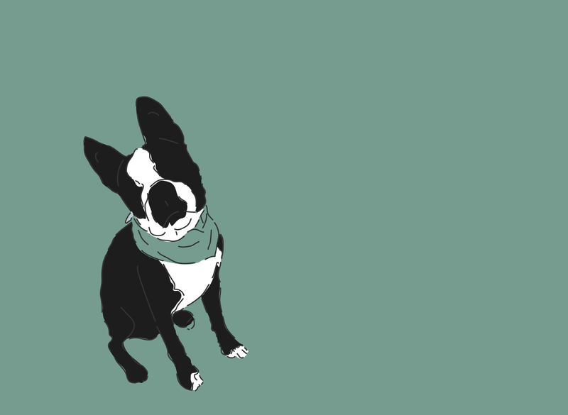 Yoda My Boston Terrier vector freelance design colorful illustration flat digital illustration digitalart fun illustrator