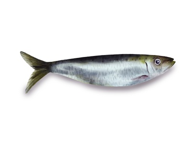Sardine - Realistic Illustration