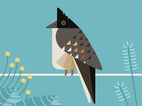 Pied Cuckoo Perched