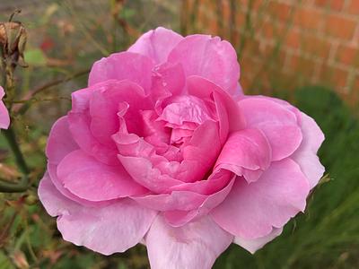 Beautiful Rose flower pink rose