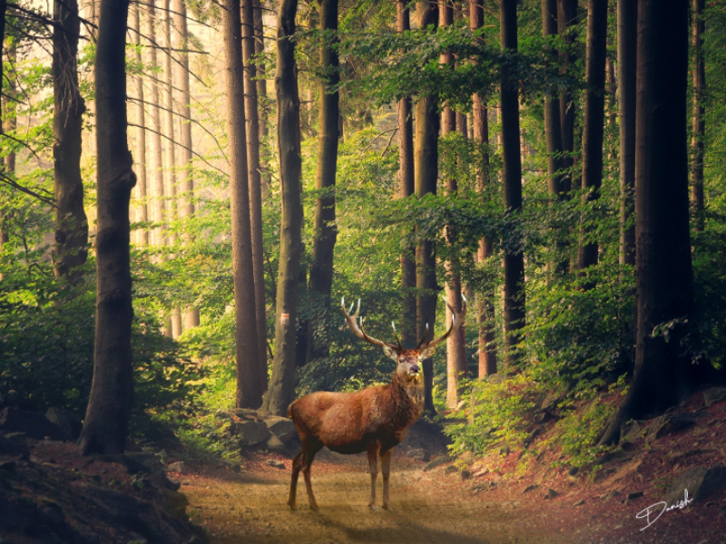 Deer In Forest graphic design photoediting photomanipulation photoshop art