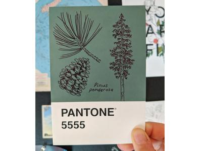 Ponderosa Pine Pantone Postcard art illustration hand drawn ink nature postcard drawing
