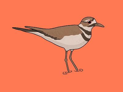 Killdeer bird bird digital art procreate procreate art drawing nature illustration art