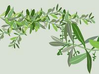 Olive Leaves illustration vector