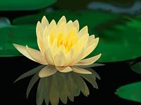 Adobe illustrator-Lotus