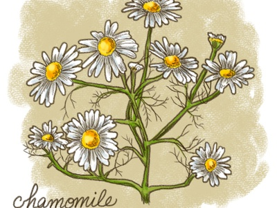 Calming Plants - Chamomile