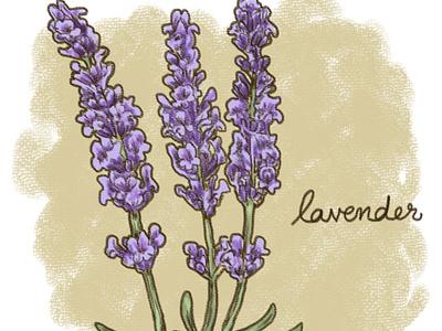 Calming Plants - Lavender illustration