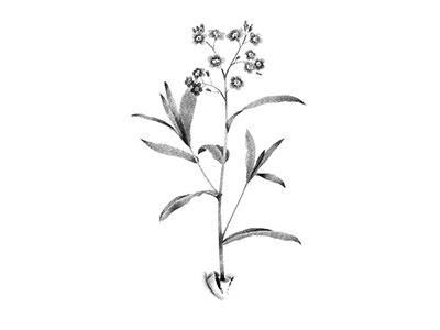 Myosotis illustration anotheroutsider dotwork stipple botanical illustration botanical art botanical flower illustration flower tattoo floral art floral forget-me-not forget me not myosotis