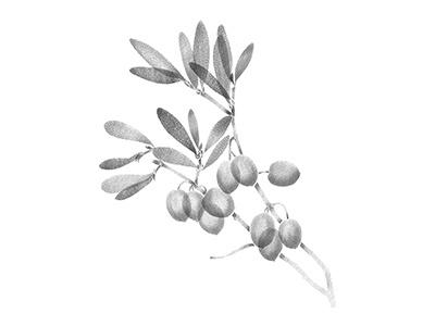Olive branch illustration anotheroutsider dotwork stipple tattoo artist tattoo art tattoo botanical illustration botanical art botanical olive branch olive tree olive
