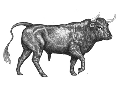 The bull illustration in old engraving style