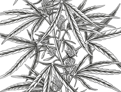 Canabis botanical illustration in old engraving style
