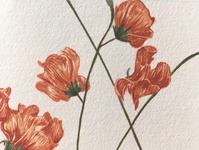 Pea Flowers Watercolour Illustration