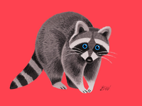 Friendly Raccoon