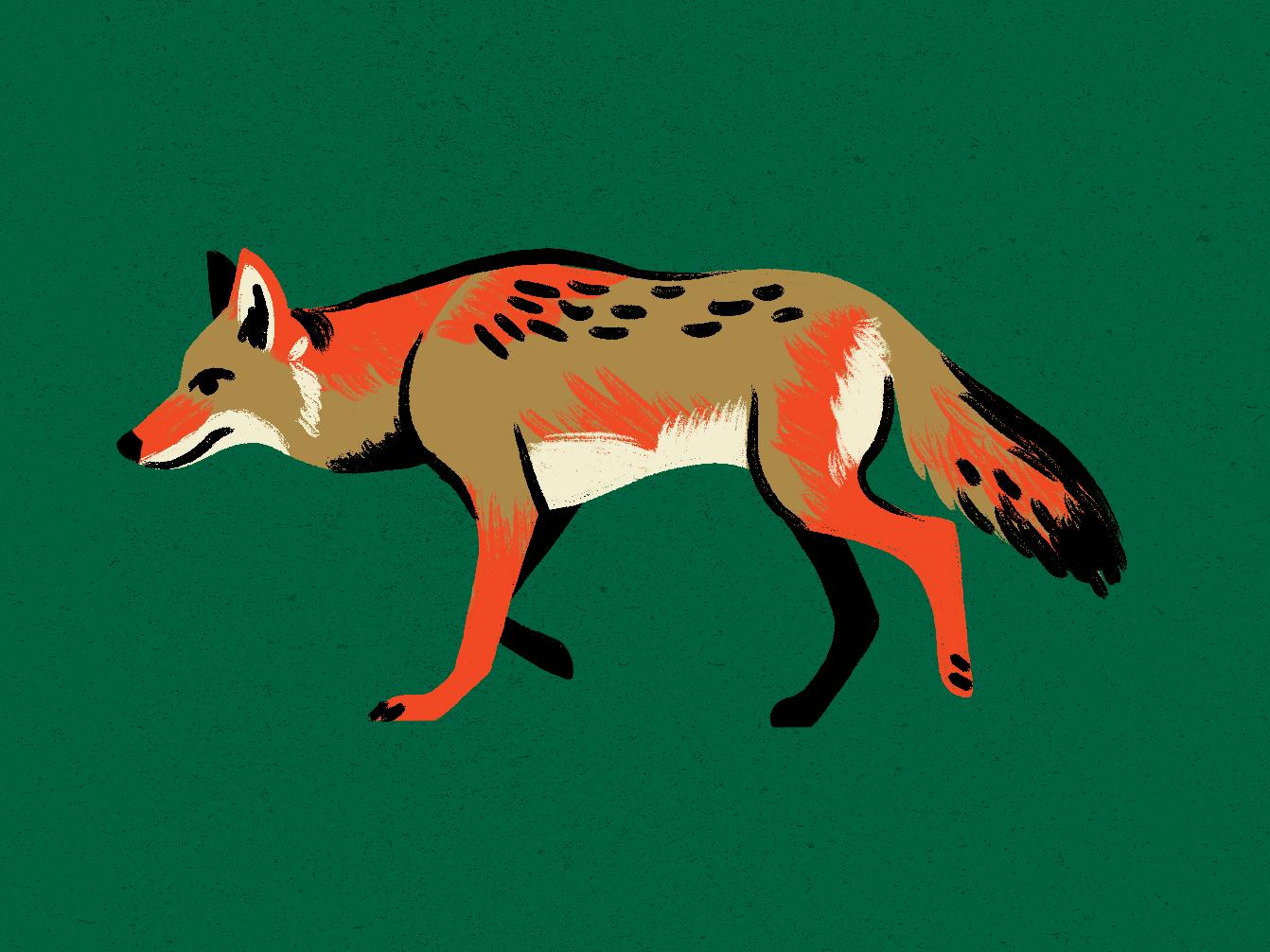 Coyote animal coyote illustration