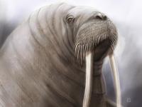 Atlantic Walrus wwfrussia wwf illustration