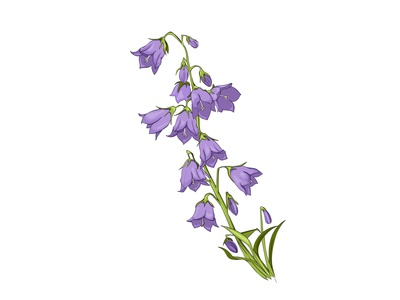 Vector drawing bell flowers