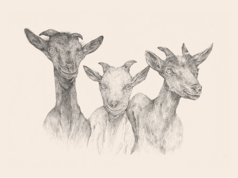 The Inner Life of Animals: Cover Illustration greystone books portrait goats animals traditional editorial book illustration