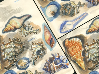 shells study [watercolor] graphic etching hatching ink watercolor painting drawing illustration editorial illustration traditional art book illustration animalist shell sketchbook sketching sketch watercolour watercolor
